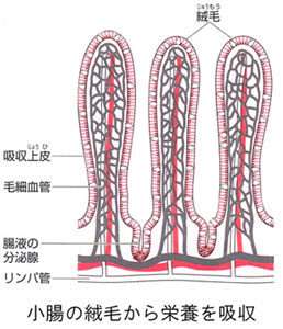 栄養分を吸収する小腸は縦毛(じゅうもう)とよばれる無数のヒダに覆われています