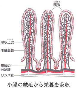 腸内にある腸壁は数多くの絨毛で覆われています