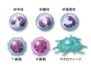 白血球の免疫細胞