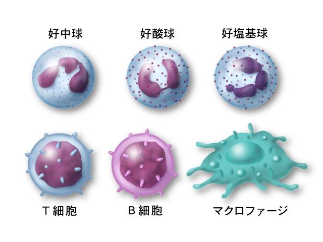 免疫細胞の中心は「白血球」。血液やリンパ液の流れに乗って全身をくまなく循環し、病原体から体を守ってくれます