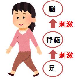 私たちは歩くたびに下半身のたくさんの筋肉を動かしますが、同時に、脳と身体の司令塔である「脳幹」を刺激することになります