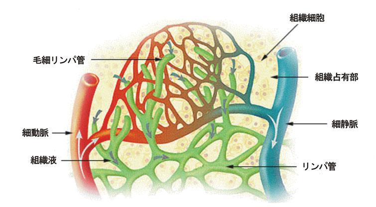 リンパ液が流れるリンパ管は、全身の細胞から老廃物や古い細胞、病原菌などをを排除する排泄機能と免疫機能の2つの役割を持っています