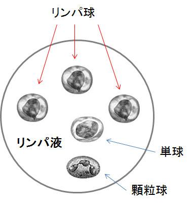 白血球の主役は、T細胞、B細胞、NK細胞などのリンパ球と顆粒球、単球
