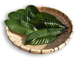びわの葉には「アミグダリン」や「タンニン」が含まれ、アミグダリンは、鎮痛作用により神経痛に効果があります