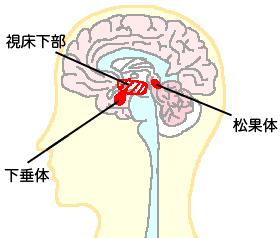 光を感じると松果体に信号を送ります松果体からはメラトニンという睡眠を誘うホルモンが分泌されます