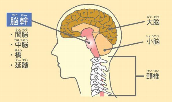 脳幹は、脳の最下層に位置し「間脳、中脳、橋、延髄」の4つの構造に分れています