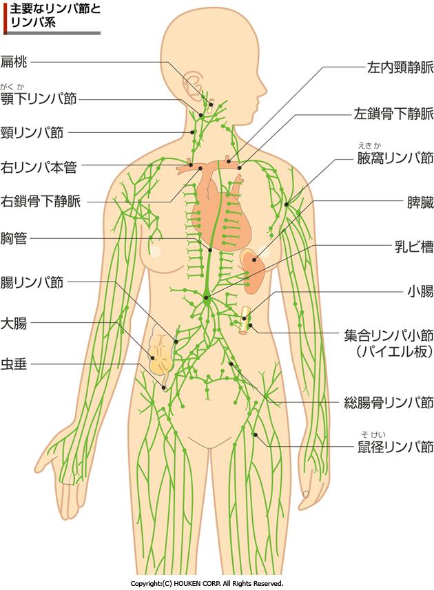 免疫力と深い関係にある「リンパ」の役割