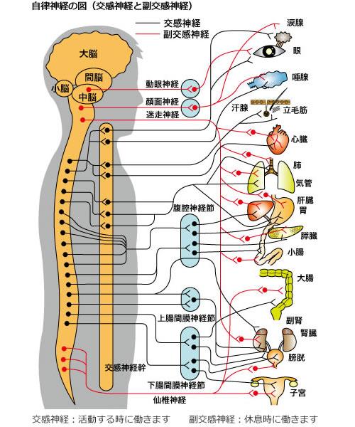 自律神経とは、自分の意志では働かすことのできない、体の機能を自動的にコントロールしている神経