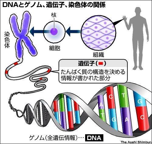 人間のDNAと遺伝子の関係
