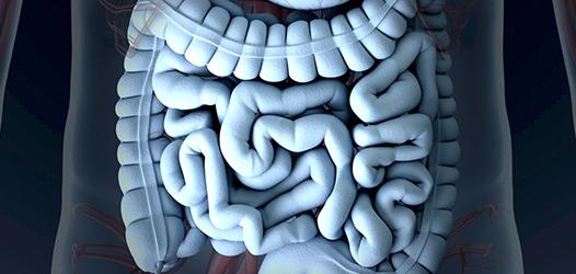 バクテロイデス属の腸内細菌がインクレチンの分泌を促します