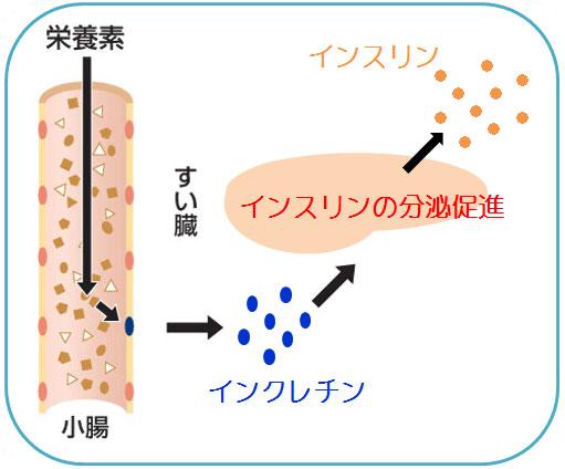 インクレチンとインスリン分泌の仕組み