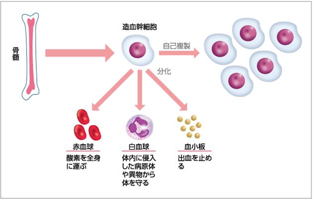 白血球は骨髄内の造血幹細胞でつくられる