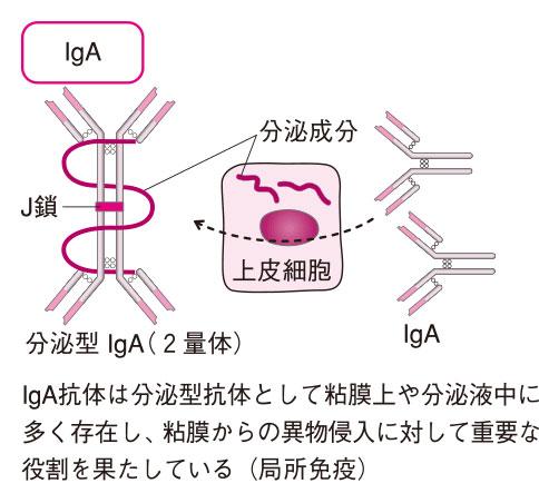免疫グロブリンA(IgA抗体)