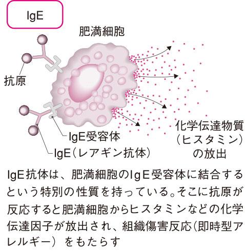 免疫グロブリンE(IgE抗体)