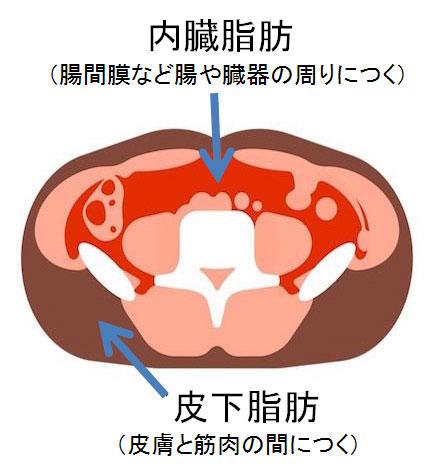 >内臓脂肪と皮下脂肪の違い